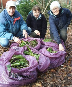 Spanish bluebells removed from Sandy Dell February 2014.  Photo Terry Smith