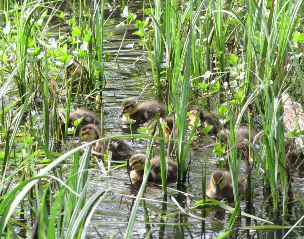 penjar-ducklings-adele